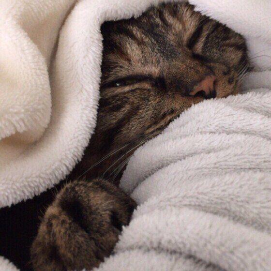 毛布に包まるキジトラのチロルちゃん