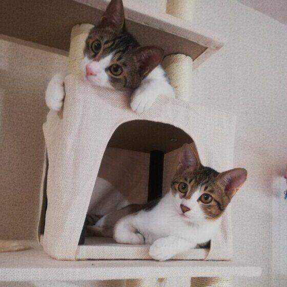 お気に入りのキャットタワーに乗るキジトラ