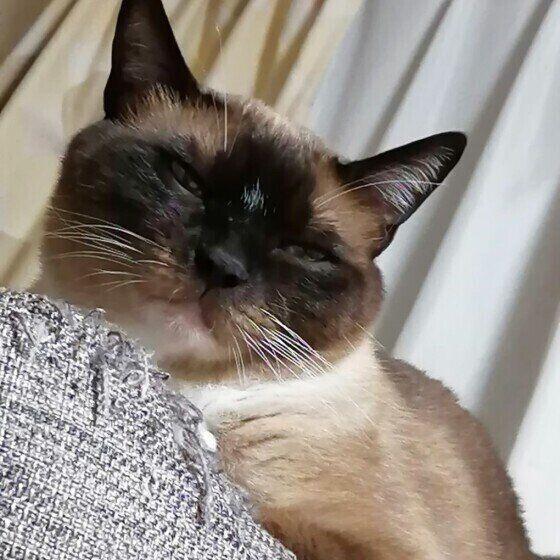 シャム猫のナツちゃん