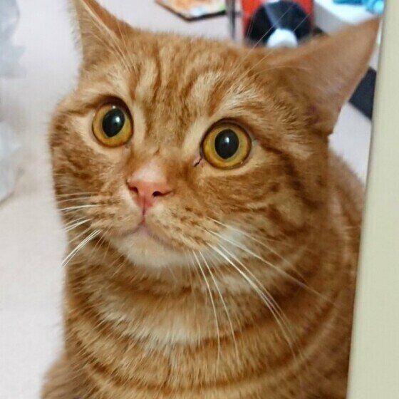 ビックリする猫(マンチカン、オス)