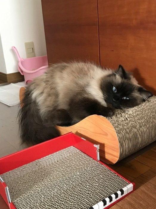 爪とぎのうえで眠そうな猫