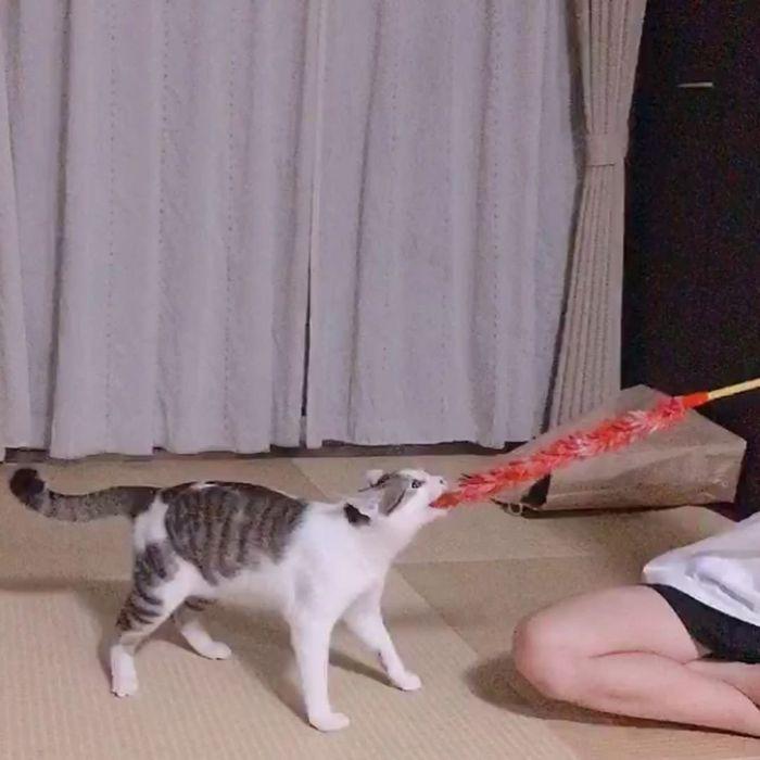 猫じゃらしで綱引きするタラちゃん