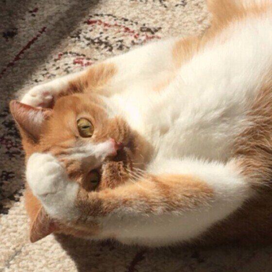 やんちゃな表情の猫(メス、ブリティッシュショートヘア)