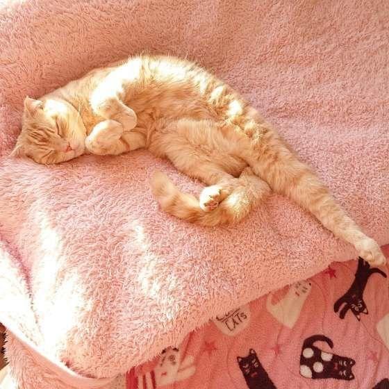 眠るスコティッシュフォールド