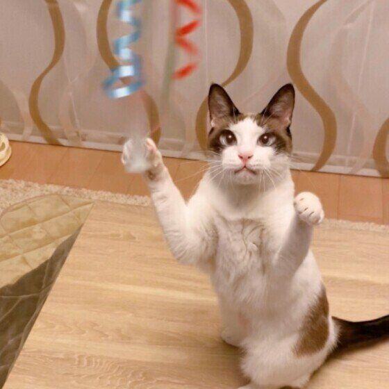 猫じゃらしで遊ぶMix猫