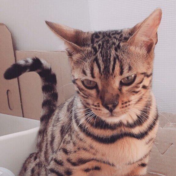 トイレで瞑想する猫(ベンガル、メス)