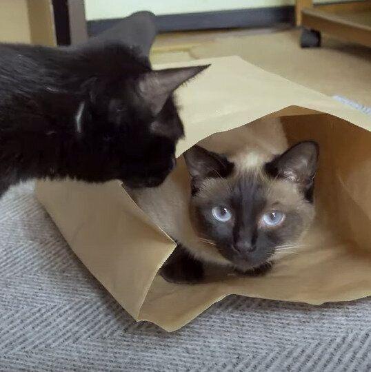 紙袋が大好きな黒みつくんと、わらびちゃん
