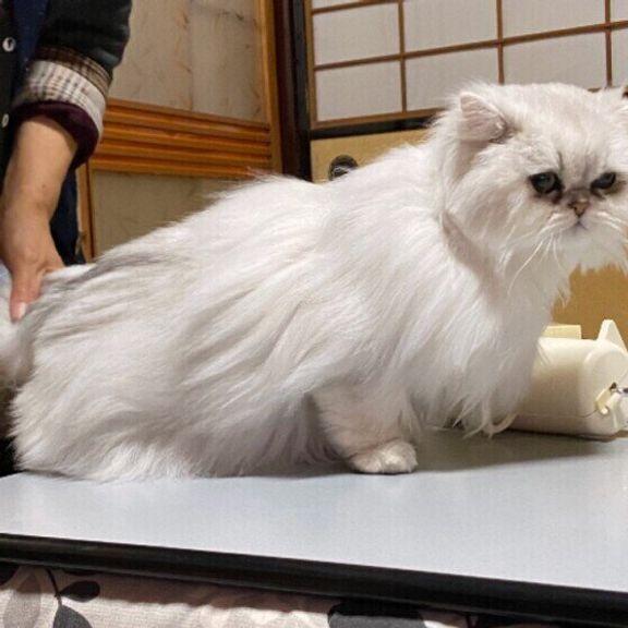 ブラッシングする猫(ペルシャ、メス)