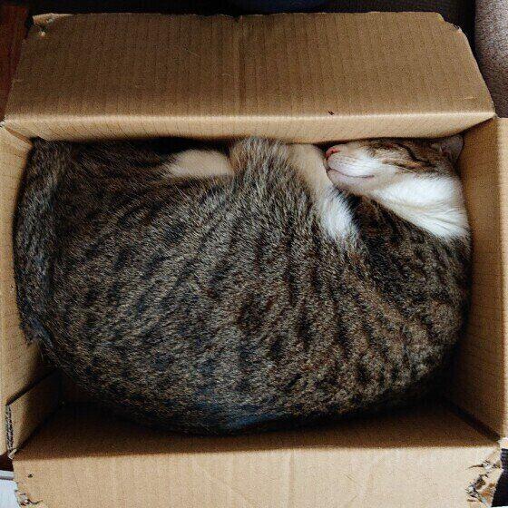 段ボール箱の中で眠る猫