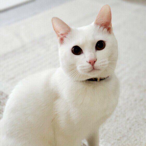 クリクリの目がかわいい白猫