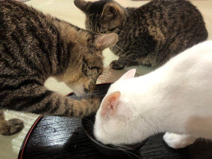 顔をつっこみ手をつっこみ、がっつく猫ちゃんたち