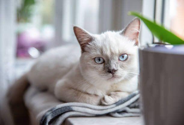 イギリスの猫ライラックポイント