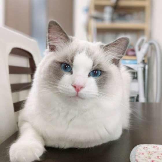 テーブルの上にのるラグドール 将来くん