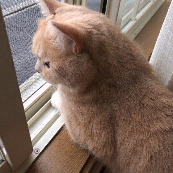 ニャルソック中の猫(ブリティッシュショートヘア、オス)