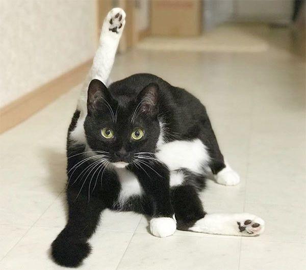 ヨガポーズをする猫