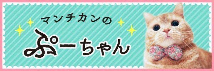 冬になるともこもこ増えるぷーちゃんの胸毛【マンチカンのぷーちゃん】vol.121
