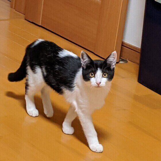 歩いている猫(MIX、メス)