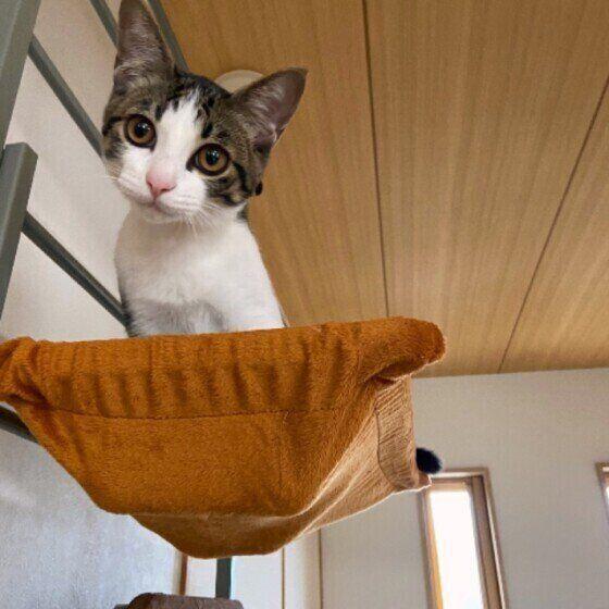 猫ハンモックに座るキジトラのこむぎくん