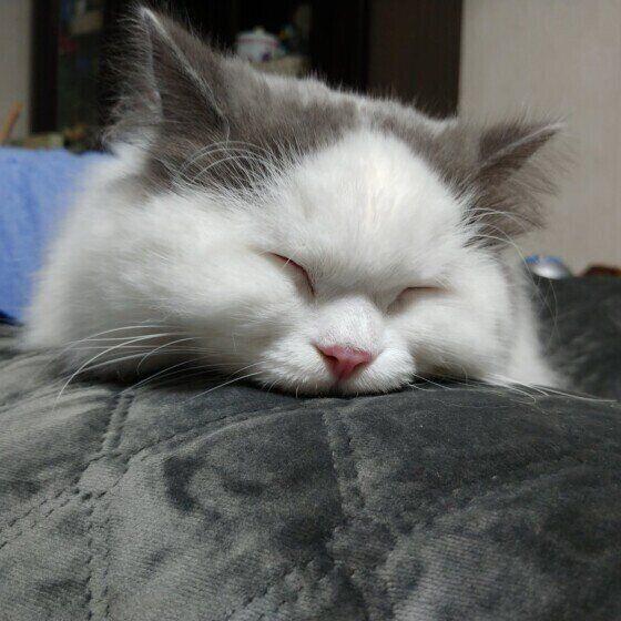 眠るブリティッシュショートヘア