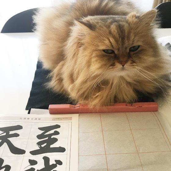 書道を見つめるペルシャ猫