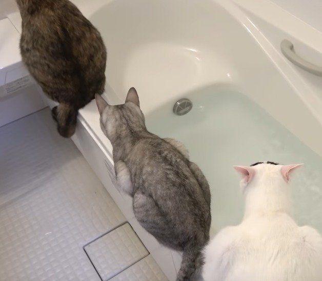 お風呂の見張りをする猫たち