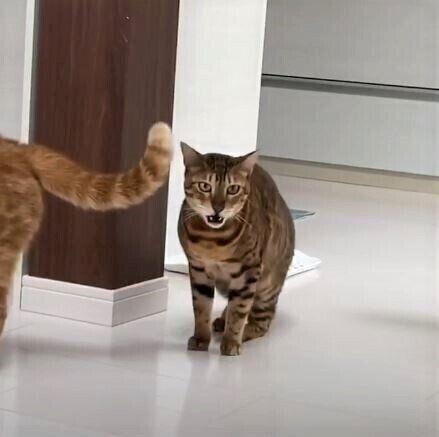 猫のフレーメン反応