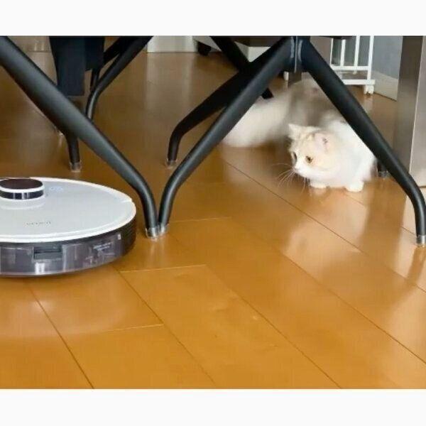 ロボット掃除機を見つめるラテちゃん