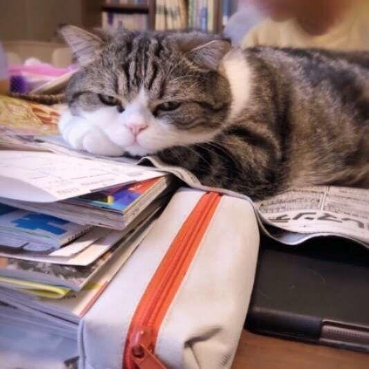 パソコンや本の上に乗る猫