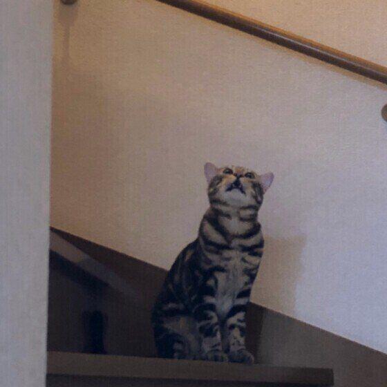 鳴いている猫(メス、ベンガル)