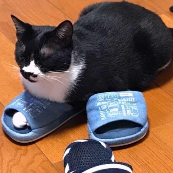 スリッパに前足を入れる猫