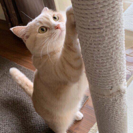 柱の爪とぎを使う猫
