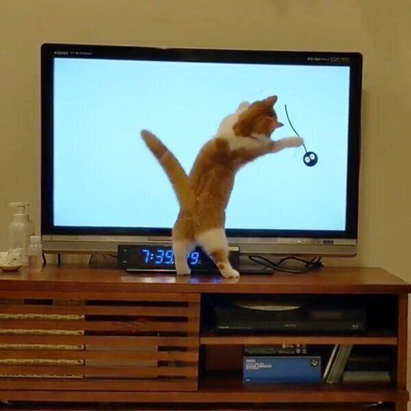 テレビ画面に映るエモノを追いかけるむぎちゃん