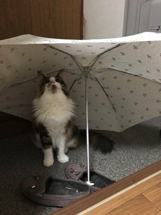 傘の下にいるノルウェージアンフォレストキャット