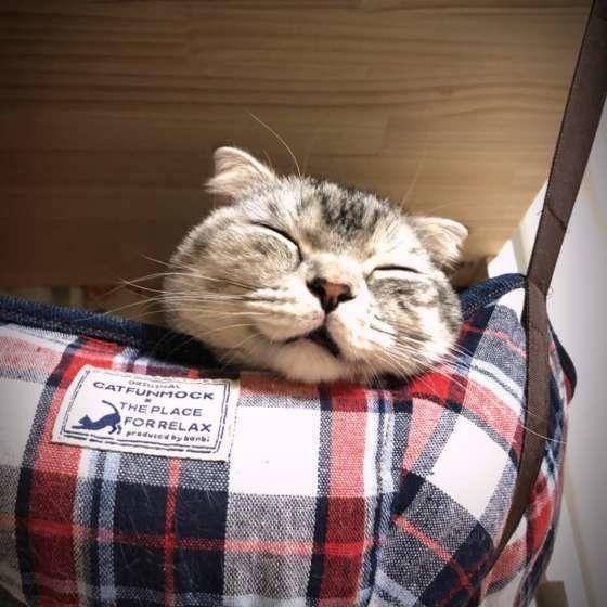 眠るマンチカン