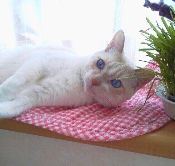 猫草のそばで寝転ぶ猫