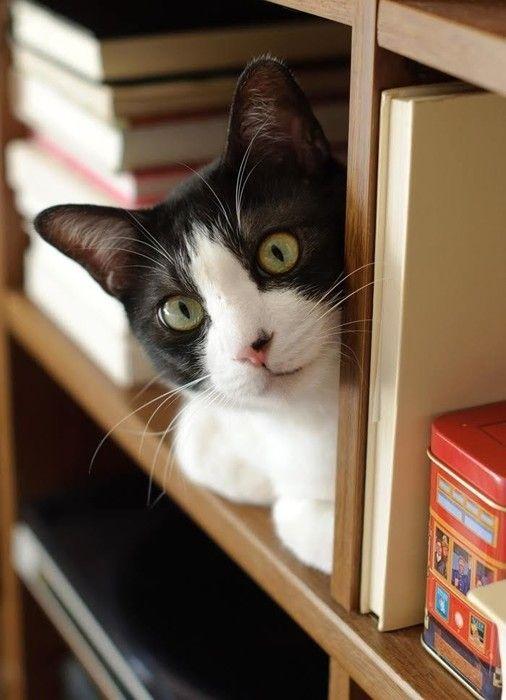 棚の上から見る猫