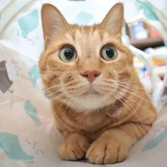 トンネルから顔を出す茶トラ猫