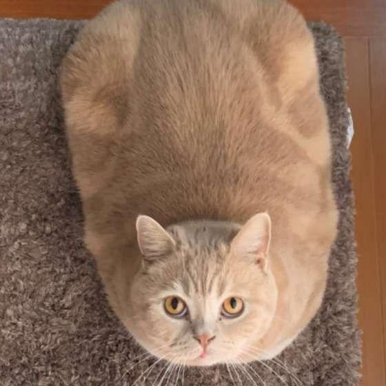 ラグの上で見上げる猫