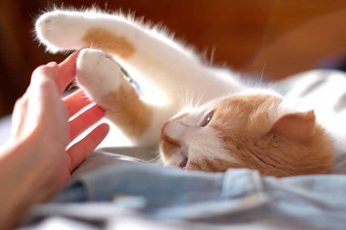 人の手と戯れる雑種猫