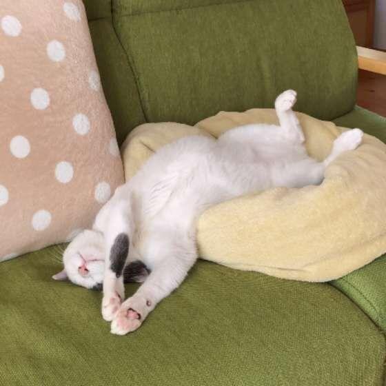 無防備な姿で眠る猫