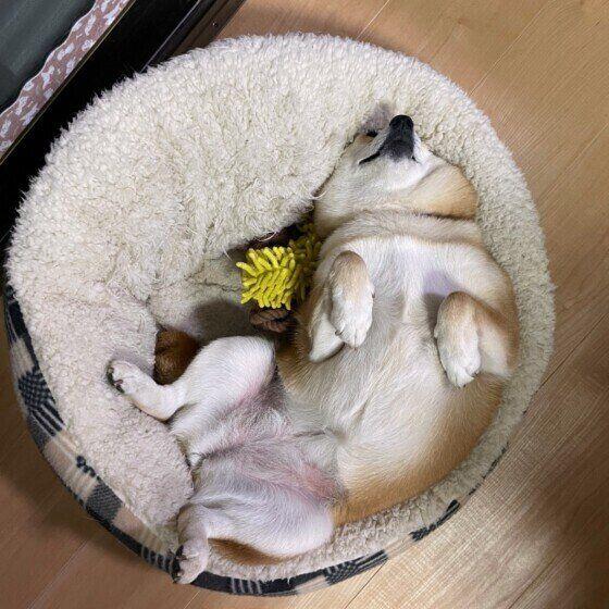 ヘソ天で眠る柴