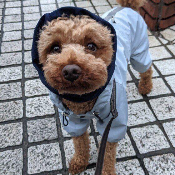 レインコートを着るトイ・プードル