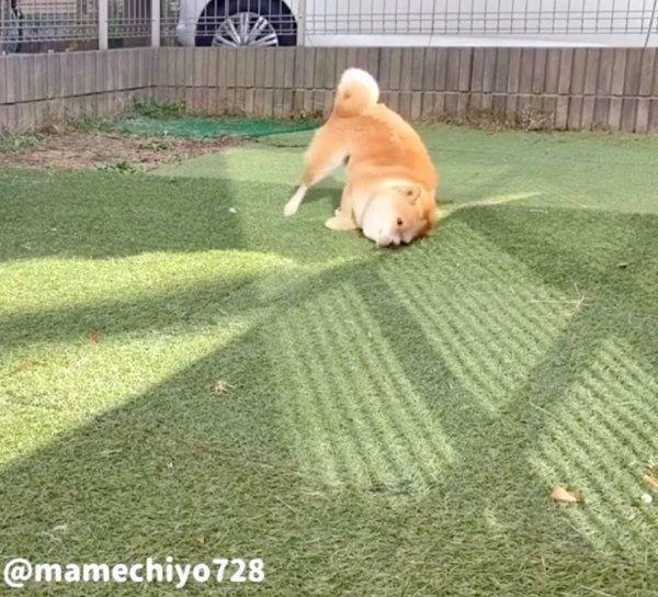 芝生に体をこすりつける豆千代くん