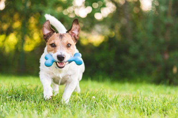 裏庭の芝生でおもちゃの骨でフェッチを遊ぶ幸せで陽気な犬