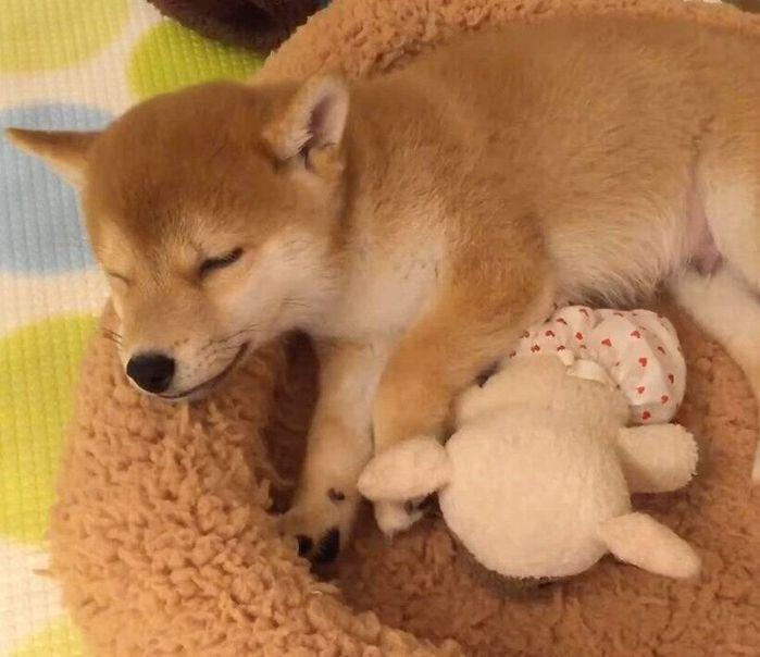 眠る柴犬の子犬
