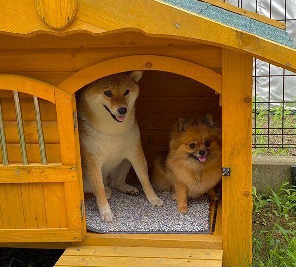 犬小屋に入るあさむらさん