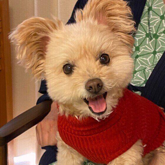 赤い洋服でかわいいMIX犬