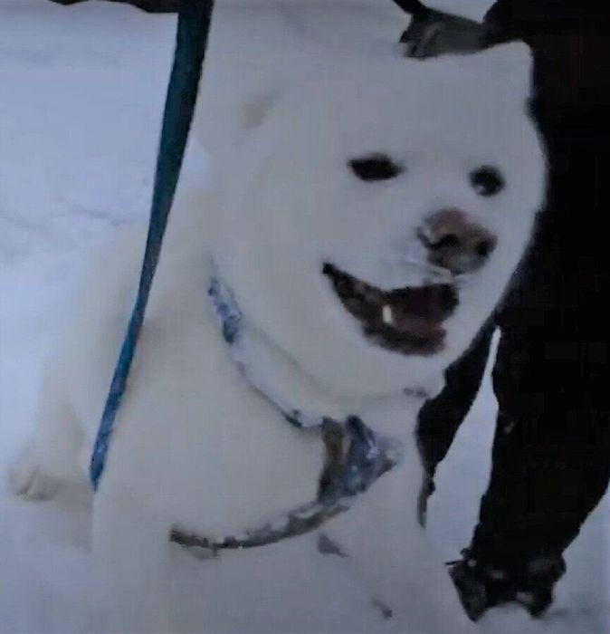 雪の中を散歩する秋田犬