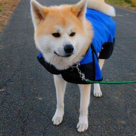 お散歩する秋田犬