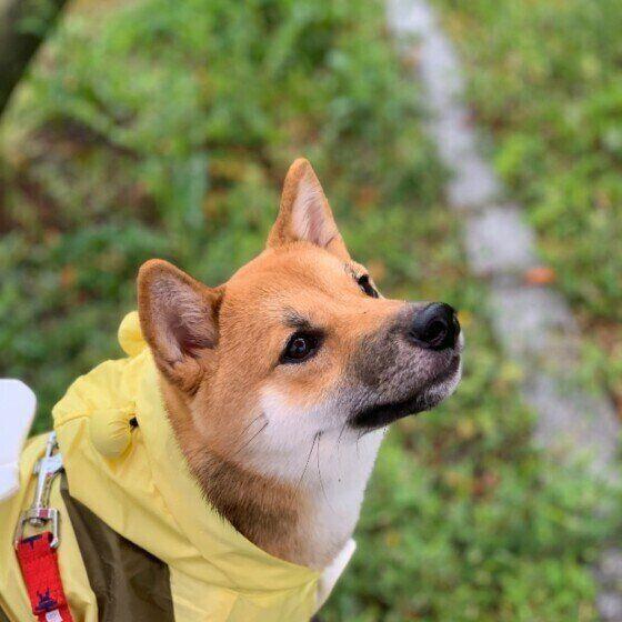 柴犬のアンちゃん